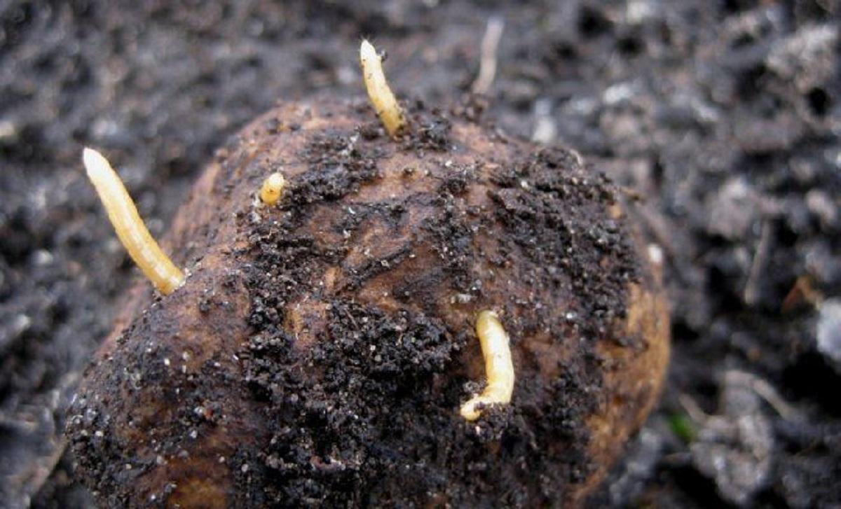 viermi de pământ pentru tratamentul articulațiilor