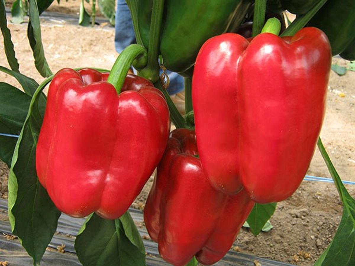 Cultivarea ardeilor: Plantare, îngrijire și recoltare - BASF Agricultural Solutions România
